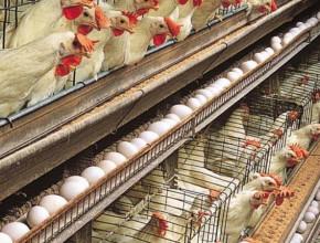 پخش تخم مرغ رسمی و سفید